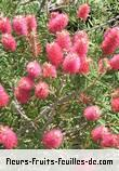 Fleurs-Fruits-Feuilles de callistemon species