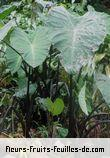 Fleurs-Fruits-Feuilles de colocasia antiquorum