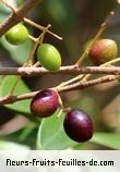 fruits de olea lancea
