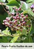 fruits de vitex trifolia