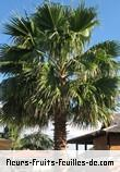 Fleurs-Fruits-Feuilles de washingtonia robusta