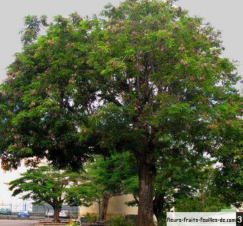 adenanthera pavonina 233galement appel233 arbre 224 perle