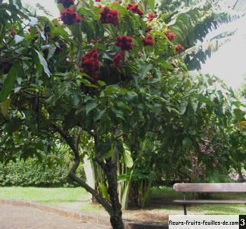 fruits veitchia merrillii comestibles