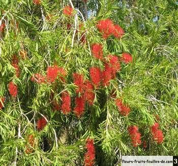 callistemon citrinus galement appel arbre couvillon plante goupillon rince biberon rince. Black Bedroom Furniture Sets. Home Design Ideas