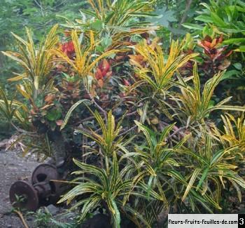 codiaeum variegatum galement appel croton qui mourra saura qui vivra verra sa description. Black Bedroom Furniture Sets. Home Design Ideas