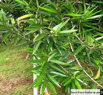 Elaeodendron Orientale Egalement Appele Bois D Olive Ile Maurice