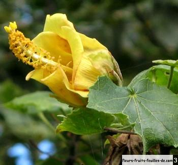 hibiscus columnaris galement appel mahot malgache. Black Bedroom Furniture Sets. Home Design Ideas