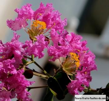 fleur orgueil de chine