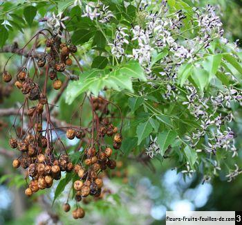 melia azedarach galement appel arbre chapelets arbre perles arbre aux chapelets arbre. Black Bedroom Furniture Sets. Home Design Ideas