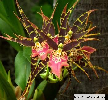 orchidee araignee