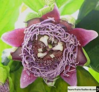 passiflora quadrangularis galement appel barbadine passiflore quatre angles sa. Black Bedroom Furniture Sets. Home Design Ideas