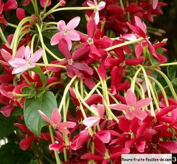 une fleur à découvrir par blucat (21juillet)trouvée par ajonc - Page 2 Quisqualis_indica_max