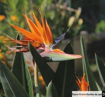 Strelitzia Reginae Egalement Appele Oiseau De Paradis Oiseau Des