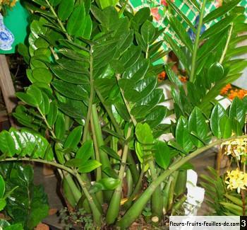Zamioculcas zamiifolia galement appel plante zz for Portent feuilles