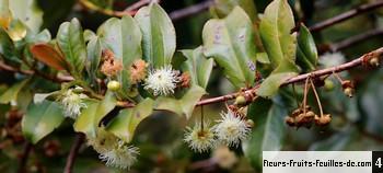Aphloia theiformis galement appel bois de gouyave marron change corce fandamane malgache - Feuille de goyave acheter ...