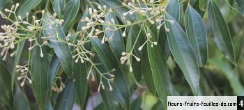 Des vertus des plantes par Macer Floridus, 1832 Cinnamomum_verum_moy