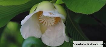 une fleur de Martin 24 septembre trouvé par Ajonc - Page 2 Dillenia_indica_moy