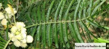 Acacia mearnsii, également appelé Acacia noir, Mimosa vert